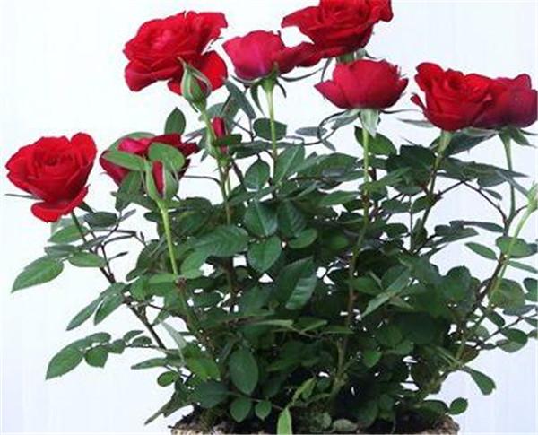 玫瑰花怎么养才不会枯萎 玫瑰花的特点有哪些