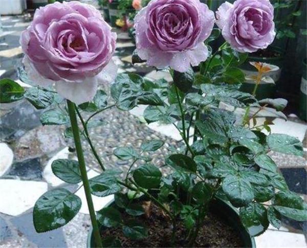 玫瑰花苗多少钱一颗 十大最贵的玫瑰花品种