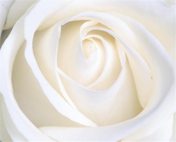 11朵白玫瑰代表什么 33朵白玫瑰花语和含义