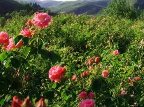 玫瑰精油每天擦脸可以吗 玫瑰精油的功效作用