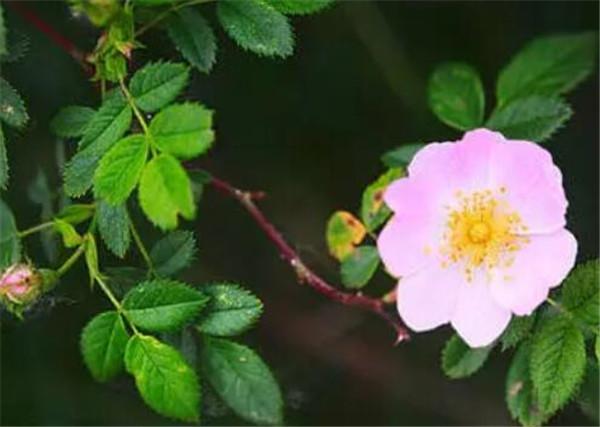 野玫瑰花的功效与作用 野玫瑰花怎么晒干
