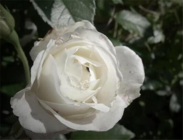 白玫瑰代表什么意思 白玫瑰花语是什么