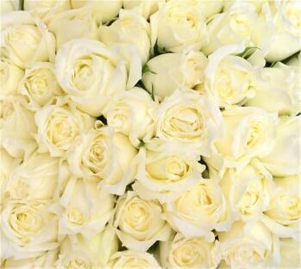 白玫瑰放家里吉利吗 白玫瑰一般送什么人