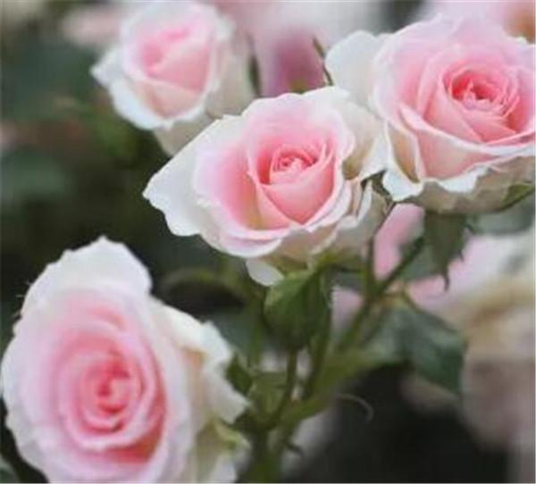 粉玫瑰代表什么意思 粉玫瑰不能随便送人吗