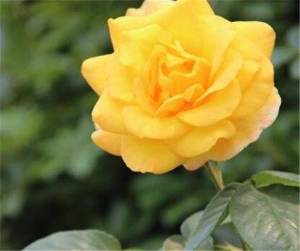 黄玫瑰不能随便送人吗 送女人黄玫瑰表示什么