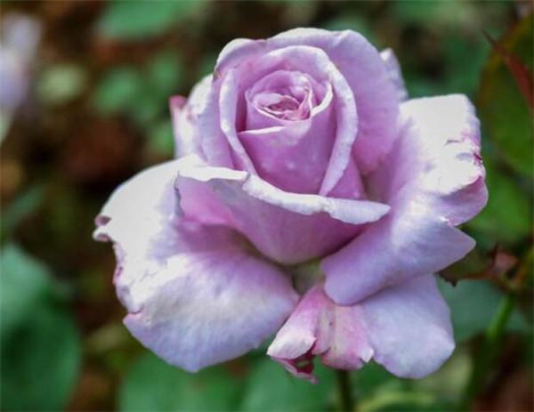 紫玫瑰的花语是代表什么 紫色玫瑰图片多少钱一支