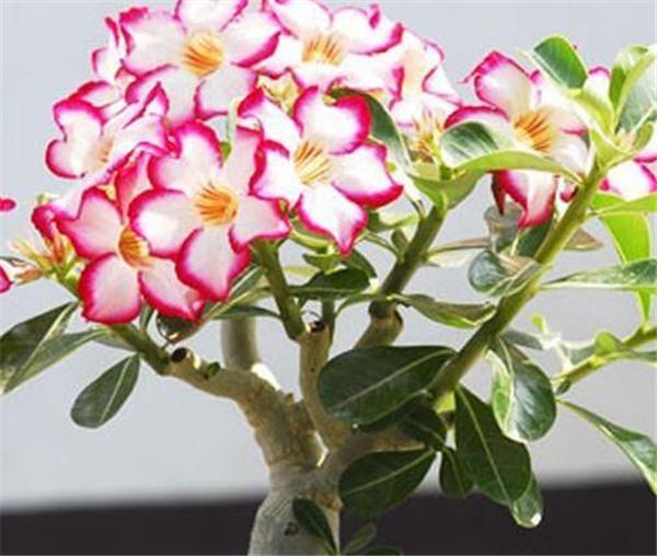 沙漠玫瑰的养殖方法和注意事项 沙漠玫瑰什么时候开花