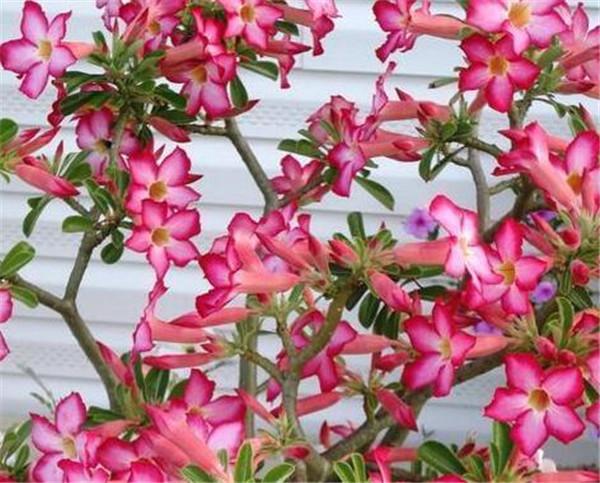 沙漠玫瑰哪个品种稀有 沙漠玫瑰夏天怎么养