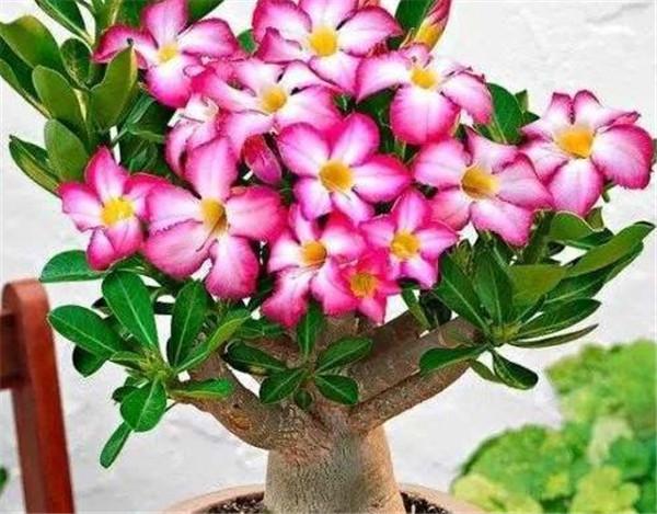 沙漠玫瑰可以放在家里养吗 适合家里养的18种花
