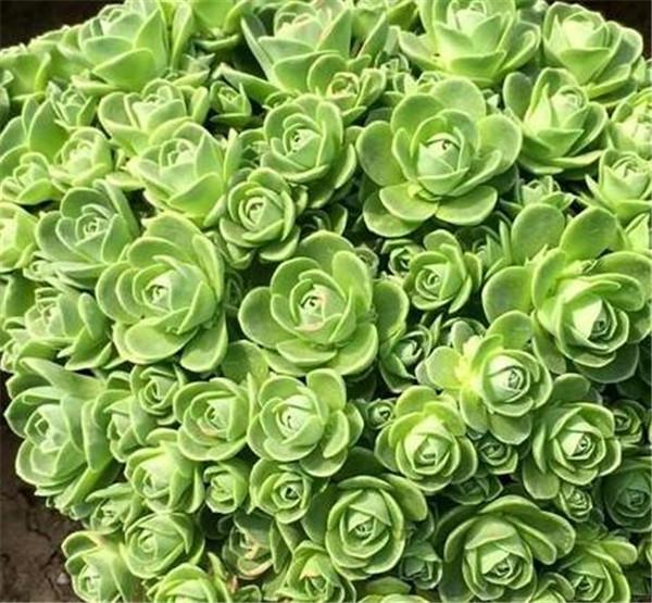 山地玫瑰怎样爆侧芽 山地玫瑰的品种有哪些
