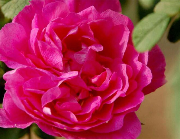平阴玫瑰的养殖方法 平阴玫瑰花多少钱一斤