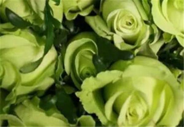 绿玫瑰花语是什么 绿玫瑰是存在的吗