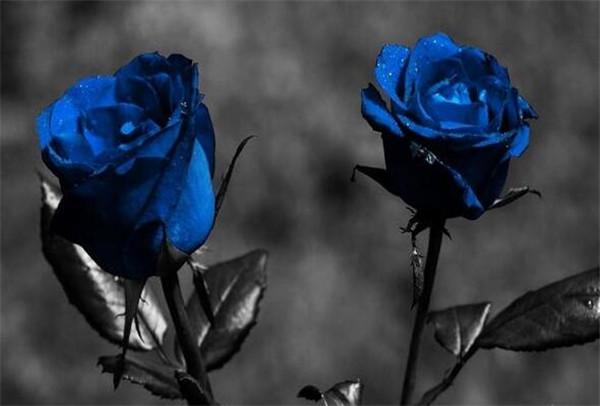 蓝玫瑰花语代表什么意思 浅谈蓝色玫瑰的含义