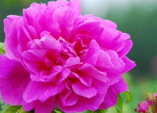 平阴玫瑰的功效与作用 平阴玫瑰可以和什么一起泡