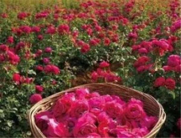 食用玫瑰花苗什么品种最好 云南食用玫瑰滇红和墨红的区别