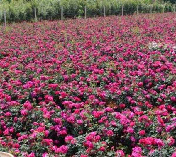 食用玫瑰花什么时候扦插最合适 食用玫瑰花怎么养