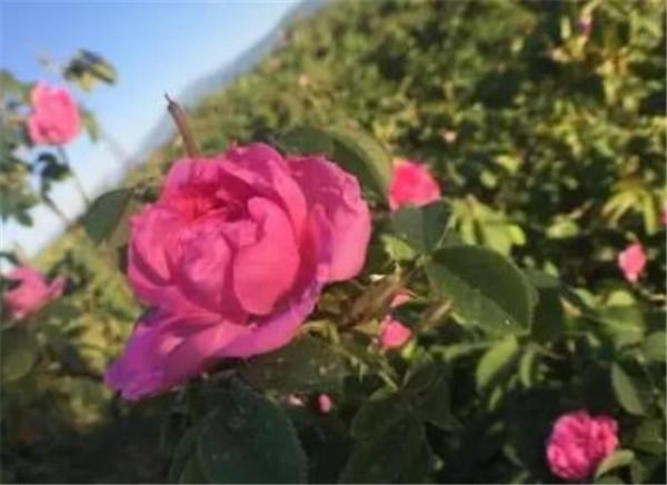 保加利亚玫瑰多少钱一支 保加利亚玫瑰纯露的功效与作用