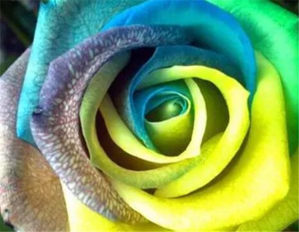 七彩玫瑰怎么种植方法 七彩玫瑰多少钱一朵