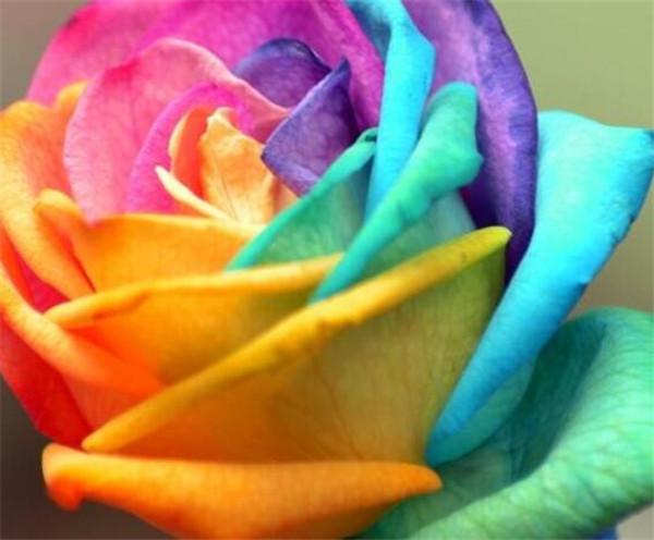 七彩玫瑰是天然的吗 七彩玫瑰代表什么意思
