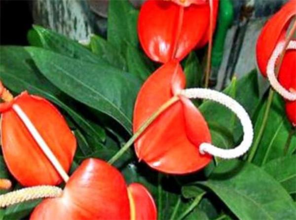 火鹤花怎么养 火鹤花花语和图片