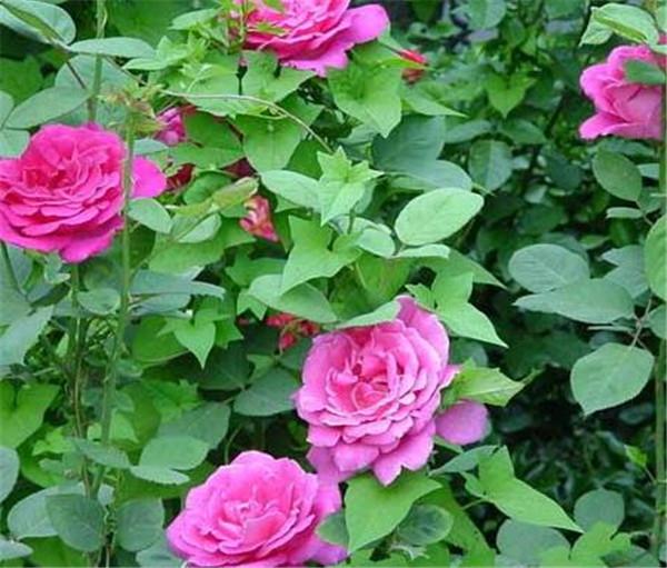 月季花的养殖方法 月季花语寓意