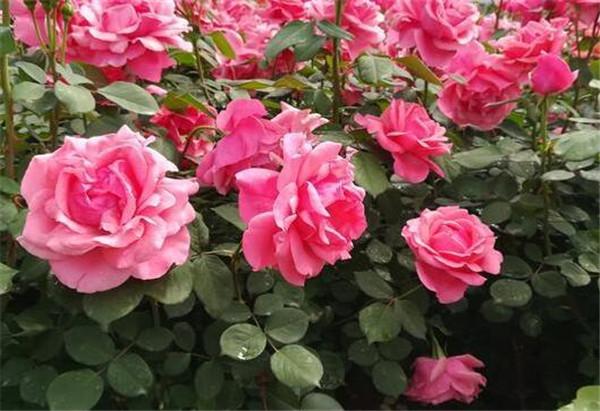 月季花的栽培要点 月季开花后怎么修剪