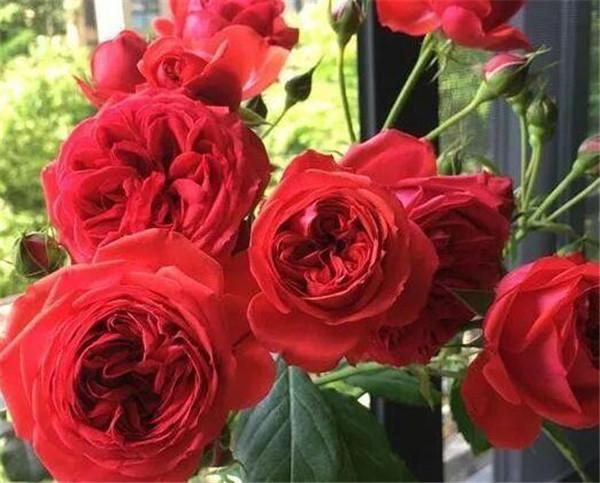 月季花的品种都有哪些 花朵最大的月季