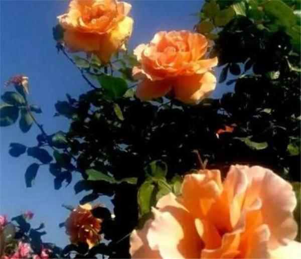 月季花浇水的正确方法 十大养不死的花