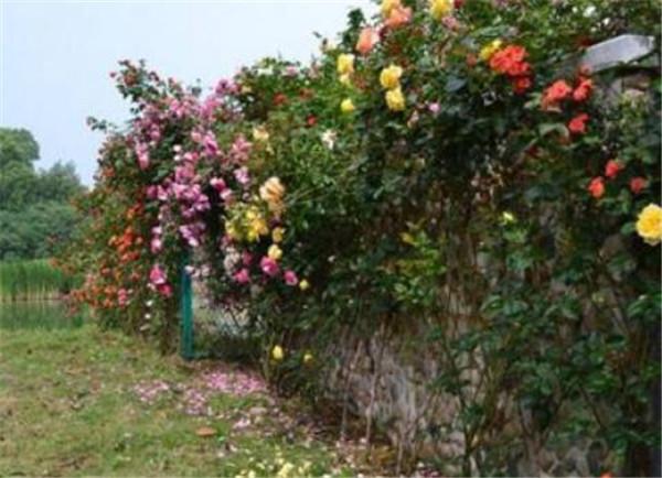藤本月季哪个品种好养又勤花的 十大浓香爬藤月季排名