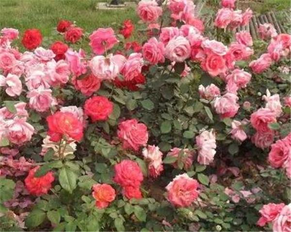 盆栽月季花叶子枯萎怎么办 月季为什么那么难养