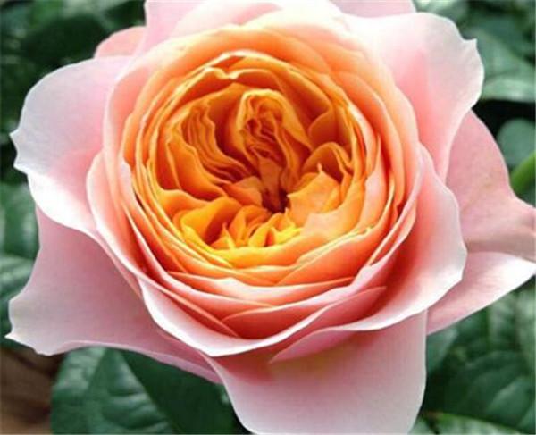 切花月季的优缺点 月季切花和不切花有什么区别