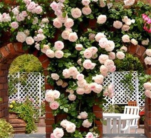 藤本月季的修剪和牵引 藤本月季和蔷薇的区别