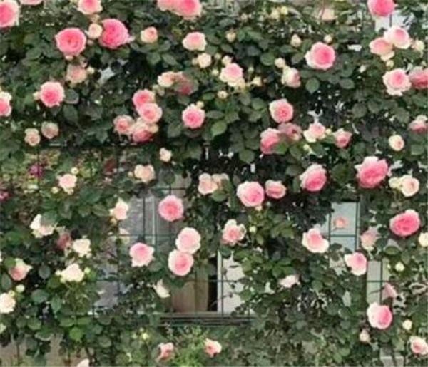 藤蔓月季怎样爬墙牵引 藤蔓月季什么时间栽