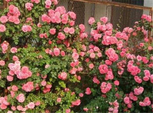 养爬藤月季应该注意哪些 最旺宅的爬藤植物