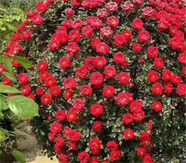爬墙月季哪个品种好自己爬 爬藤月季怎么固定在水泥墙