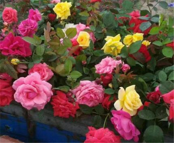 大花月季品种介绍 大花月季小苗价格多少一棵