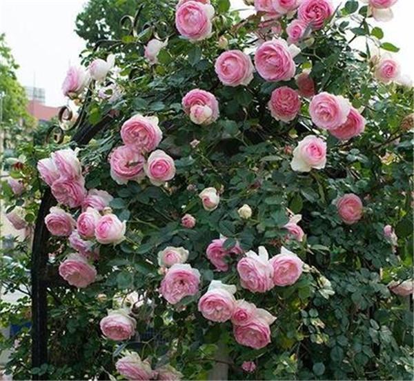 爬藤月季什么品种最美 花期最长的藤本月季