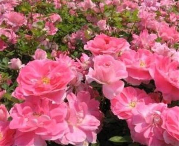 丰花月季与普通月季有什么区别 又香又勤花又耐热月季