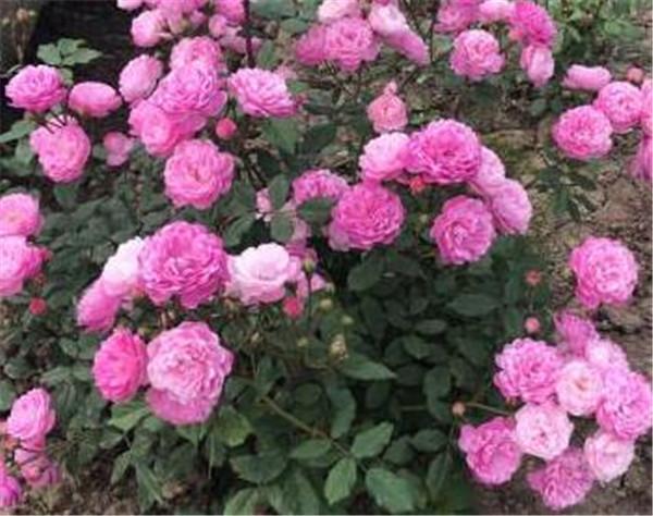 丰花月季品种有哪些 嫁接月季和扦插的区别