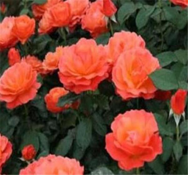 丰花月季花期是几月份 月季花的十大精品