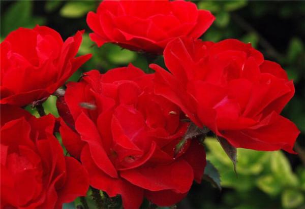 红帽子月季是灌木还是花卉? 红帽月季最低耐寒多少度