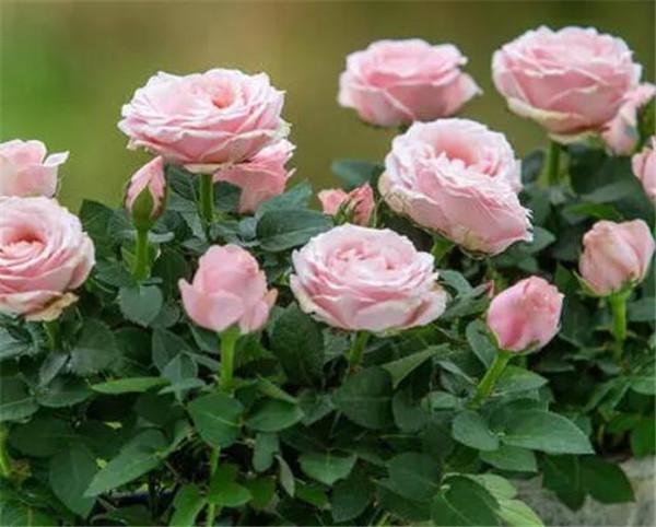 欧月月季花有哪些品种 欧月是玫瑰还是月季
