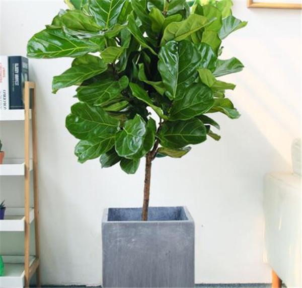 办公室绿植品种有哪些 领导办公室养什么花比较好