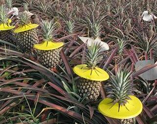凤梨是不是菠萝 凤梨是什么水果和菠萝一样吗图片