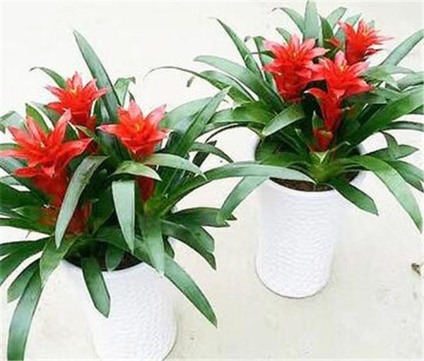 凤梨花与鸿运当头区别图片 适合办公室养的32种花