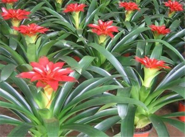 观赏凤梨是不是鸿运当头 不需要阳光的室内花卉有哪些