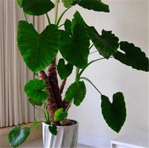 滴水观音可以放室内养吗 热带雨林有滴水观音吗