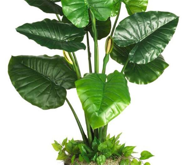 滴水观音怎么繁殖 滴水观音叶子可以生根吗