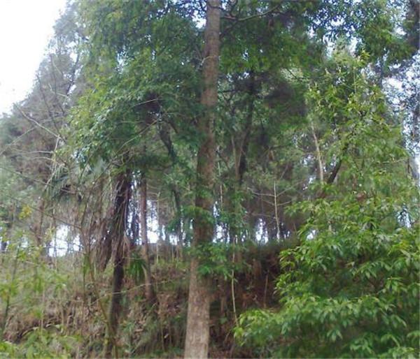 金丝楠木产地是哪里 世界名贵木材排名大全