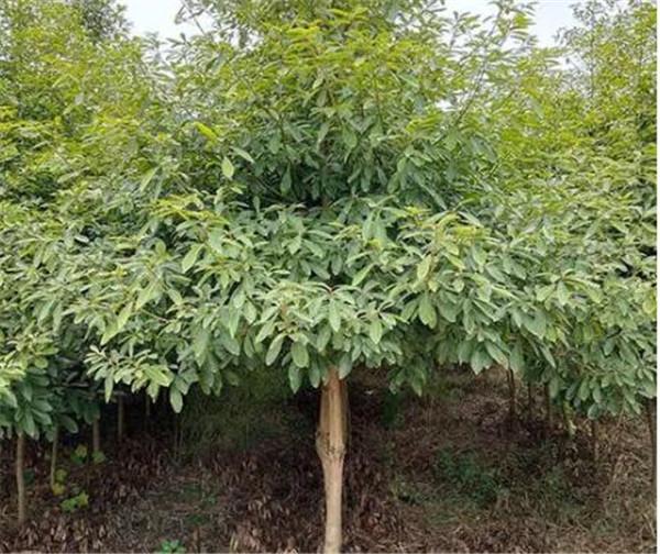 金丝楠木树苗适合哪些地方种植 金丝楠木种植技术